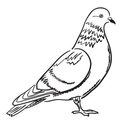 Illustration pour Contour of pigeon in profile. Vector illustration, sketch, coloring page. - image libre de droit