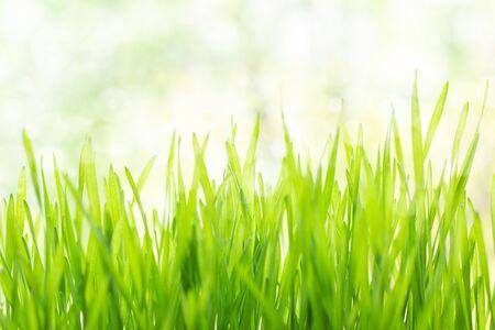 Photo pour Fresh green grass in bright sunshine - image libre de droit