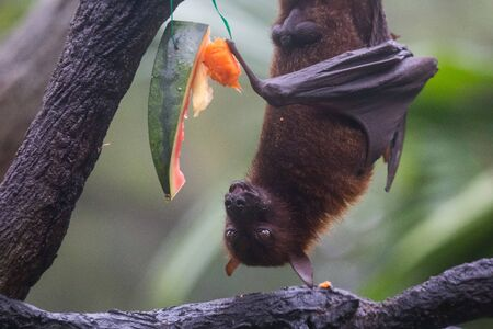 Photo for Fruit bat also known as flying fox with big leather wings hanging upside and down eating juicy orange and watermelon - Royalty Free Image