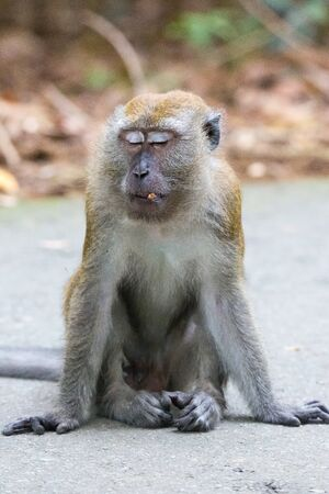 Photo pour Portrait of bored and thoughtful monkey with closed eyes look like a Buddha's statue. Crab-eating macaque or the long-tailed macaque sitting and relaxing. Relax take it easy Singapore. - image libre de droit
