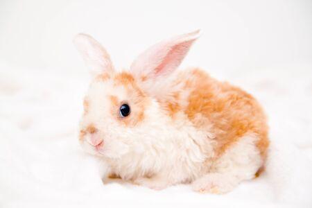 Foto de Cute little orange and white color bunny with big ears. rabbit on white background. animals and pets concept - Imagen libre de derechos