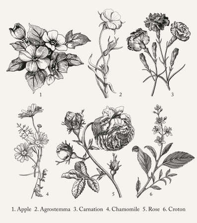 Illustration pour Botany. Set vintage medical realistic isolated flowers herbs. Nature baroque. Drawing engraving sketch retro. Vector background victorian Illustration. Apple Agrostemma Carnation Chamomile Rose Croton - image libre de droit