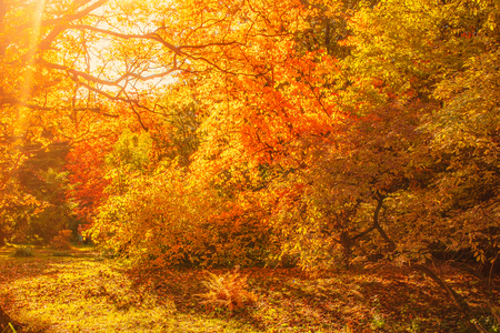 Photo pour Beautiful Autumn landscape Background. Yellow maple trees, sunbeams and forest path in Autumn Park at sunny day  - image libre de droit