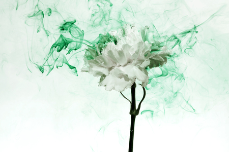 Photo for White carnation inside in water on a white background. Flower under the water with green paints and smoke. - Royalty Free Image