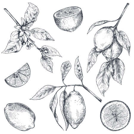 Illustration for Vector collection of hand drawn fresh lemon tree branches, fruits and flowers. - Royalty Free Image