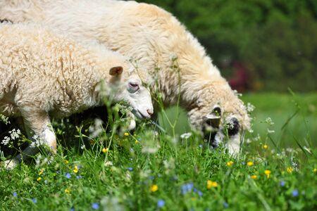 Foto de Sheeps in a meadow on green grass - Imagen libre de derechos