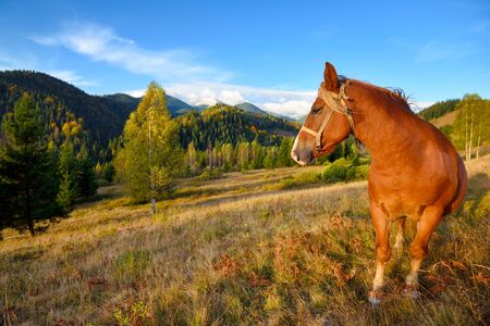 Photo for Brown horse on a mountain pasture on the background of sky and autumn mountains. Sunny autumn morning in the Carpathians - Royalty Free Image