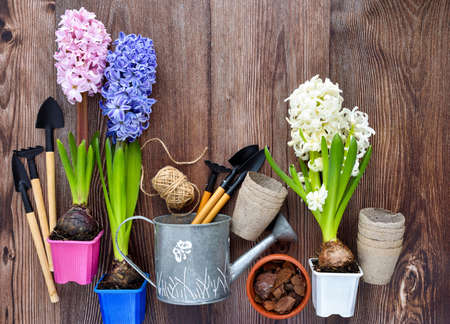 Photo for Garden tools, hyacinth flowers and plants on a rustic wooden background, frame. Gardening concept. Top view - Royalty Free Image