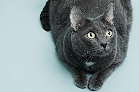 Photo for The gray cat is lying. Blue background, close up - Royalty Free Image