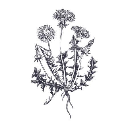 Illustration pour Beautiful vector hand drawn Dandelion Illustration. Detailed retro style image. Vintage sketch element for labels, packaging and cards design. Modern background. - image libre de droit