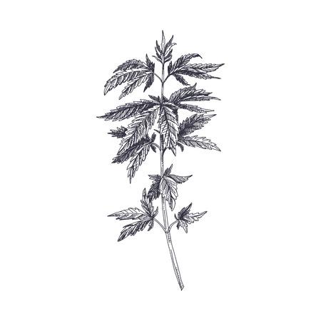 Illustration pour Beautiful vector hand drawn Cannabis Illustration. Detailed retro style image. Vintage sketch element for labels, packaging and cards design. Modern background. - image libre de droit