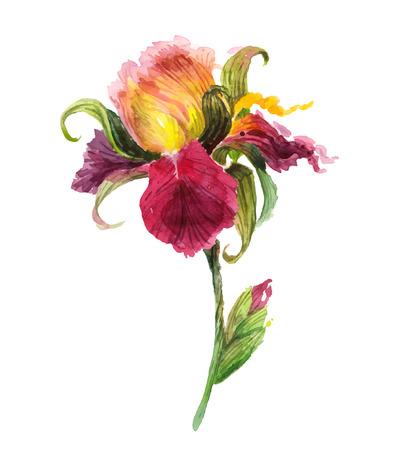 Beautiful watercolor iris flower