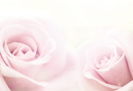 beautiful roses in soft color, made with blur style for background