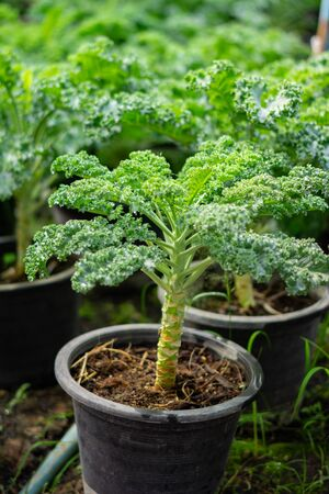 Photo for Organic broccoli in vegetable garden - Royalty Free Image