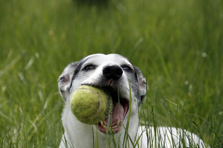 Sweet doggy playing with a tennis ball in the grass