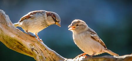 pair of sparrows conversing