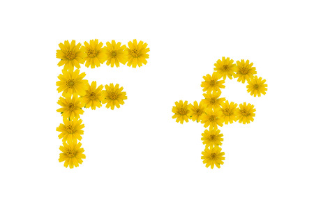Letter F, alphabet made from yellow Wedelia flowers isolated on white background