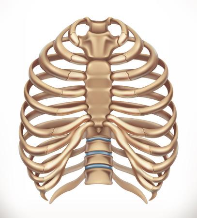 Illustration pour Rib cage. Human skeleton, medicine. 3d vector icon - image libre de droit