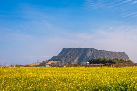 Photo pour Canola field at Seongsan Ilchulbong, Jeju Island, South Korea - image libre de droit