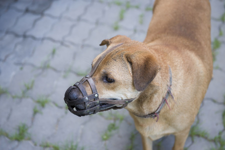 Dog wear muzzle. Selective Focus at the dog eye