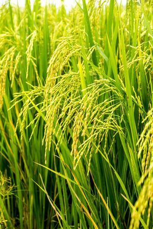 green field of rice at Ch