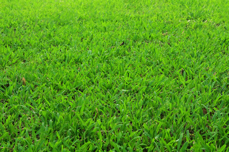 Green grass texture, natural background for design art work