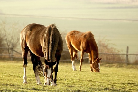 Grazing Horses In A Field