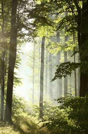 Sunlight enters the deciduous forest on a misty morning after the rain
