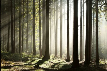 Sunlight entering autumn coniferous forest on a misty morning
