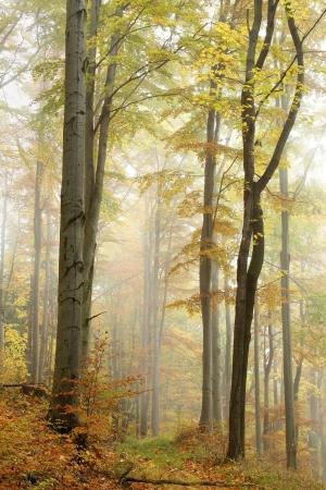 Mountain trail leading through a foggy autumn beech forest on a rainy day