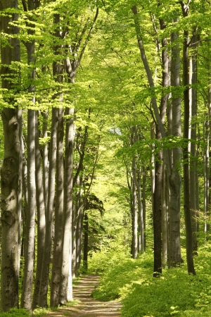 Photo pour Forest trail among the beech trees on a sunny May morning - image libre de droit