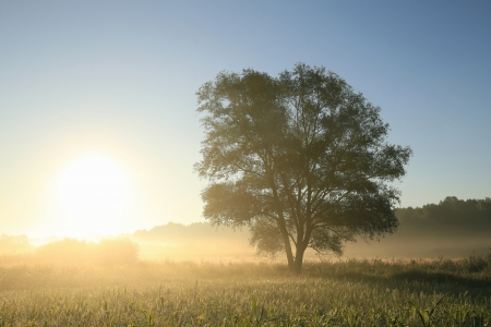 Willow tree on a meadow at dawn  Poland