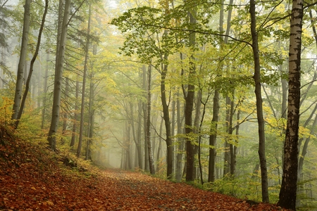 Forest path in foggy autumn weather