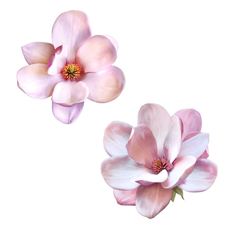 Photo pour Illustration of a tender pink magnolia flower isolated on white background - image libre de droit