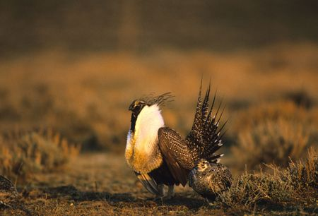 StruttingMale Sage Grouse with Female