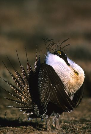 Strutting Male Sage Grouse