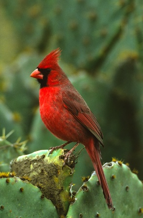 Male Northern Cardinal on Cactus
