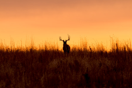 Photo for Whitetail Buck in the Sunrise - Royalty Free Image