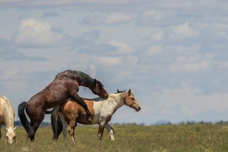 Photo pour Wild Horses Mating - image libre de droit