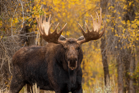 Photo for Bull Shiras Moose in Fall - Royalty Free Image