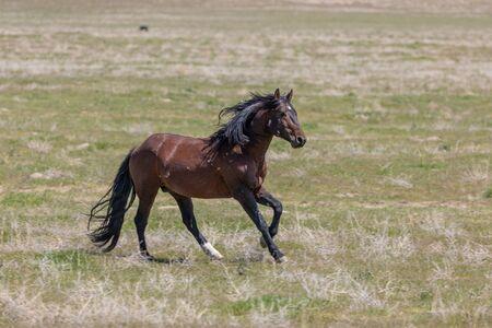 Photo pour Beautiful Wild Horse Stallion - image libre de droit