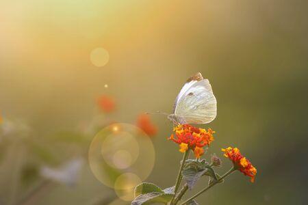 Photo pour Butterfly on flower at sunrise - image libre de droit