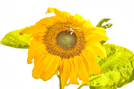 view of a sunflower from under