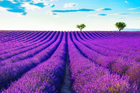 Photo pour Lavender fields near Valensole, Provence, France. Beautiful summer landscape at sunset. Blooming lavender flowers - image libre de droit