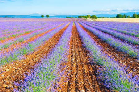 Photo pour Lavender fields near Valensole, Provence, France. Young lavender flowers. Beautiful summer landscape. - image libre de droit