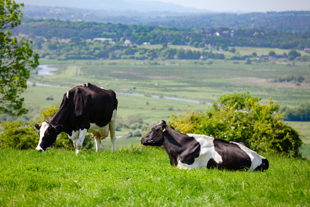 Photo pour Holstein Friesian dairy cattle at pasture on the South Downs hill in rural Sussex, Southern England, UK - image libre de droit
