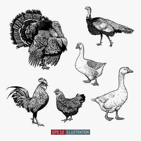 Illustration pour Set of hand drawn poultry. Rooster and chicken, turkey, goose. Engraved style vector illustration. Template for your design works. - image libre de droit