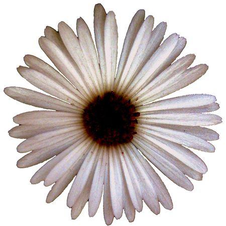 beautiful single white daisy