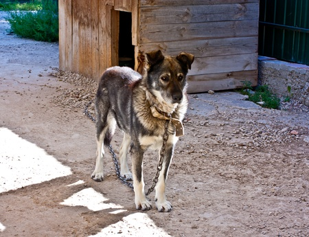 Dog on a chain facing the kennel