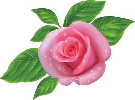 pink rose with green leaves on a white background
